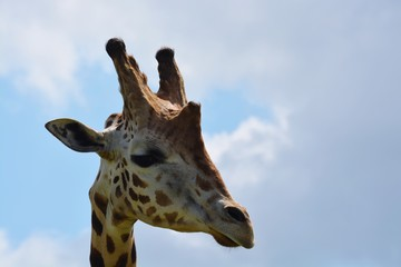 Giraffe portrait high in the sky