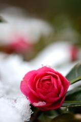椿の花 雪景色