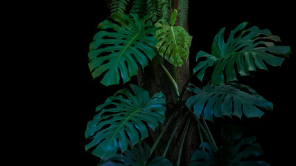 Green leaves of monstera or split-leaf philodendron (Monstera deliciosa) the tropical foliage plant growing in wild climbing on tree trunk on black background. Tropical rainforest, jungle background.