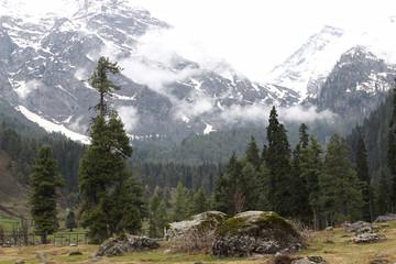 pine tree and snow mountain