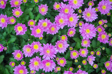 The  purple chrysanthemum flower autumn beautiful  image close up