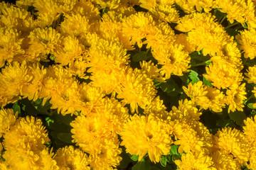 The  yellow chrysanthemum flower autumn beautiful  image close up