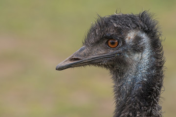 A very close profile photograph of the head of an emu showing detail in the eye and beak