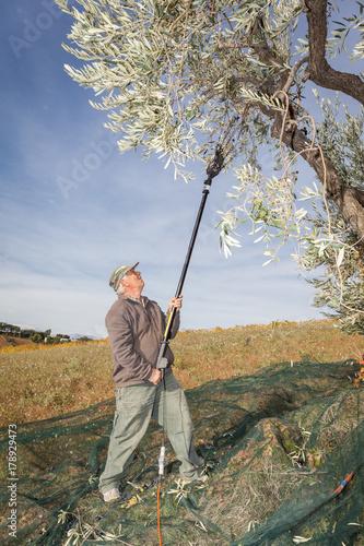 Olive harvest : farmer harvesting olives with picking