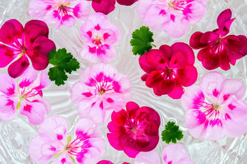 Pelargonium geranium flower on water background
