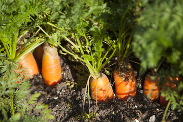 closeup of carrots in soil of dutch 