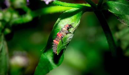 Caterpillar Macro