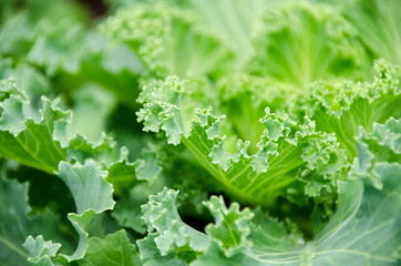 Close up top view of kale cabbage leaves. Vegetables healthy food background.Purple - green cabbage - top view