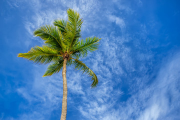 Coconut Palm tree against a blue tropical sky