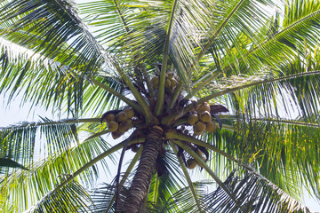 Closeup image of palm tree and coconuts