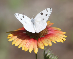 White Cabbage Butterfly on Indian Paint Wildflower