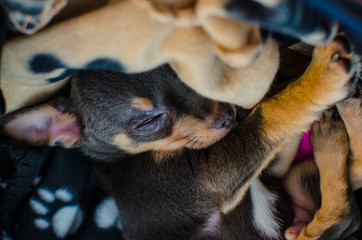 Sleeping puppy chihuahua