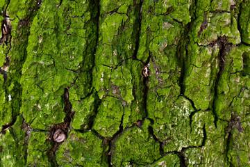 Green moss covers an oak tree's bark.