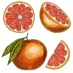 Grapefruit, half of fruit, slice. Full color realistic sketch