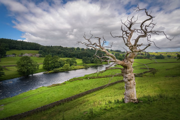 Dead tree standing on hillside alongside the river Wharfe England