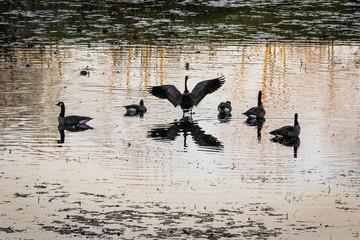 Geese Preflight