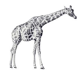 high isolated giraffe sketch