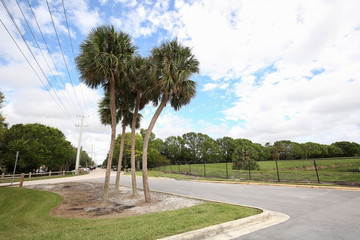 Beautiful native cabbage palm trees at the entrance path to the Wakodahatchee Wetlands a Great Florida Birding Trail in Delray Beach, Florida.