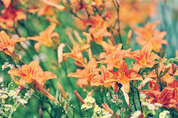 colorful background of blooming red-orange lilies