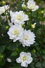Dahlia blanc en été au jardin