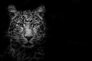 Leopard Out of the Darkness