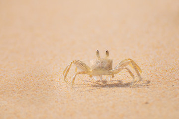Ghost crab standing at the beach on sand background, sea life concept and nature idea