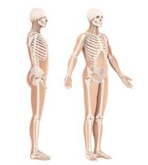 Human Skeleton Anatomy Isolated