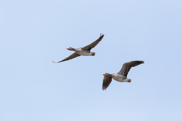 portrait of two flying gray geese (anser anser) in blue sky