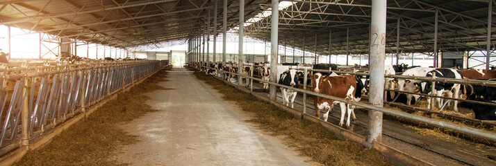Building of a cow farm. Panorama