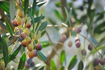 Albero di olive. Oliveto