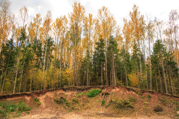 Mixed forest in autumn. The trees are on the edge of a sandy ravine. Exposed tree roots. Environmental disaster.