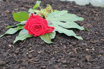At the Cemetery, Red rose on a grave, am Friedhof, Rote Rose auf einem Grab