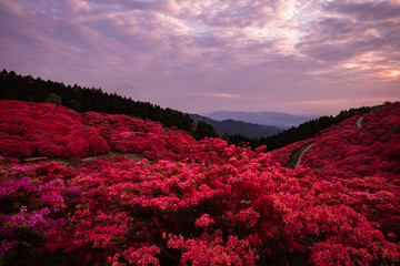 Poster de jardin Lavende 奈良県 葛城山 ツツジ