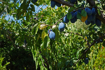 nice ripe plums on a tree branch