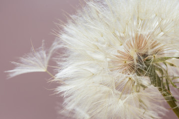 Aerial dandelion on  pink background. Relax, air.copy space