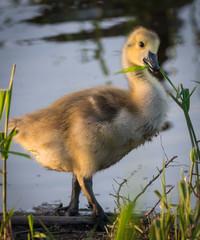 Baby goose eating