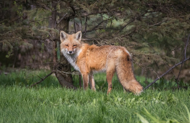 Red fox side view