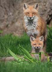 Red fox with baby