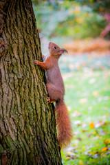 L'écureuil roux en automne