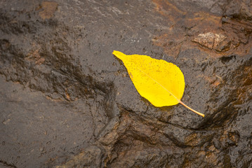 Aspen tree leaf for fall background