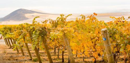 Keuken foto achterwand Wijngaard Red Mountain, WA vineyards in autumn color