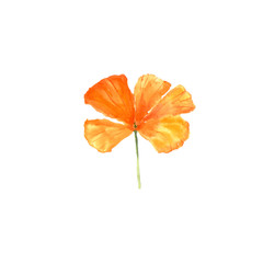 Watercolor botanical illustration of California poppy flower isolated on white background