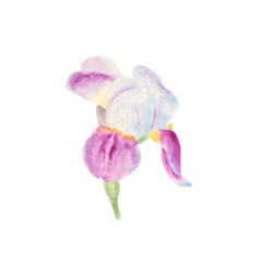 Botanical watercolor illustration sketch of iris on white background. Could be used for web design, polygraphy or textile