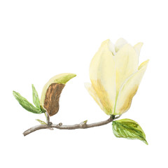 Botanical watercolor illustration sketch of yellow magnolia branch on white background
