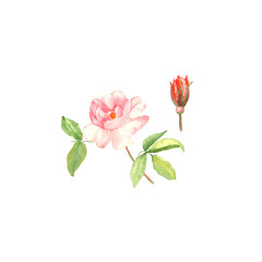 Botanical watercolor illustration sketch of pink rose and bud on white background