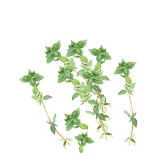 Botanical watercolor illustration of branches of thyme isolated on white background. Could be used as decoration for web design, cosmetics design, package, textile