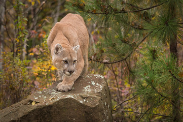 Door stickers Puma Adult Male Cougar (Puma concolor) Paw Forward on Rock