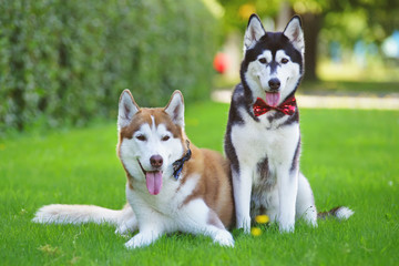 Two obedient Siberian Husky dogs wearing bow ties and posing together on a green grass in summer
