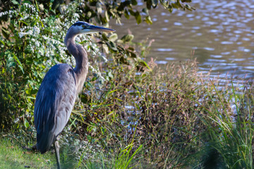 Blue Heron standing on the bank of a lake