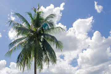 tree coconut the garden with blue Cloud sky background